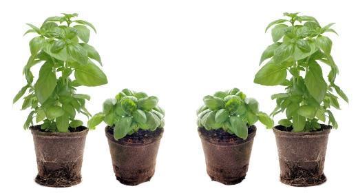 חיים וצמחים: בזיליקום