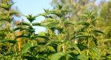 סירפד הכדורים (Urtica pilulifera)