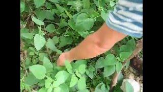 הרפס סימפלקס - אומנות הליקוט צמחי מרפא,סדנאות ליקוט צמחי בר.